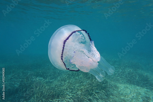 Fototapeta A barrel jellyfish Rhizostoma pulmo underwater in the Mediterranean sea, Cote d'Azur, France