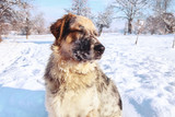 Close-up muzzle of large dog with closed eyes admiring snow in winter forest - 192952807