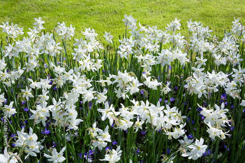 White Daffodils in the garden.
