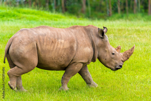 Aluminium Neushoorn Portrait of Southern white rhino, endangered African native animal