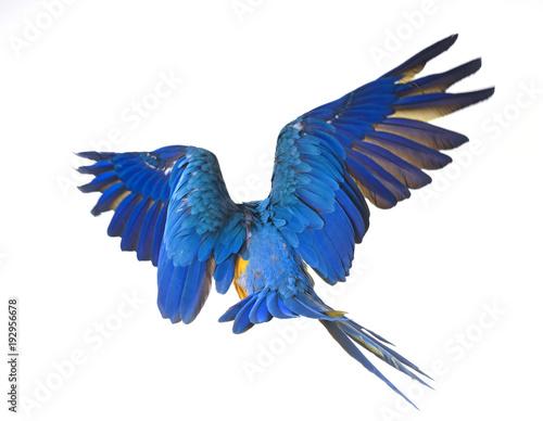 Aluminium Papegaai Blue-and-yellow macaw in studio
