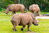 Southern white rhinoceros, endangered African native animals - 192956881