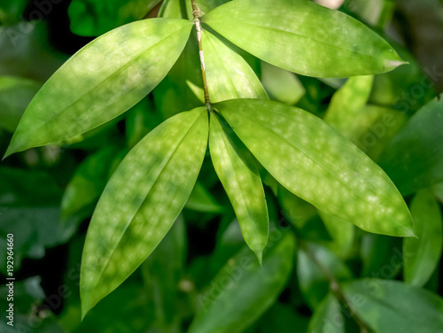 Fotobehang Bamboe soft focused of spotted green leaves of bamboo
