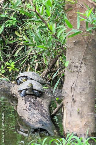 Aluminium Schildpad Turtles in Yacuma river, at Bolivian Pampas. Pampas del Yacuma protect area near Rurrenabaque and Madidi National Park in Bolivian Amazon area. (Amazonia, Bolivia)