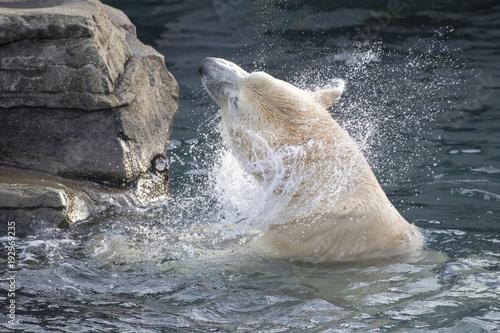 Aluminium Ijsbeer Ice bear splashes in water