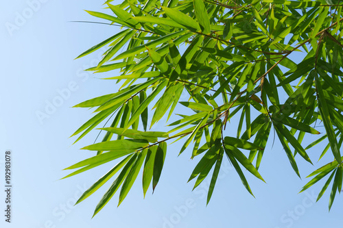 Fotobehang Bamboe green bamboo leaves and the blue sky