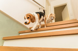 Dogs running down the stairs beagle with german spitz