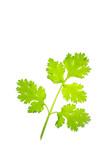 coriander isolate on white background - 192985469