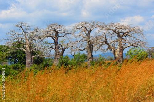 Fotobehang Baobab Quadruplés