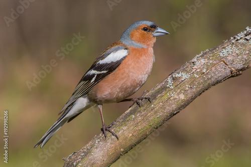 Foto op Canvas Natuur finch, bird, nature, wildlife, animal