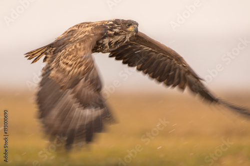 Papiers peints Nature White tailed eagle flying