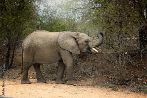 Słoń, Park Narodowy Krugera w RPA