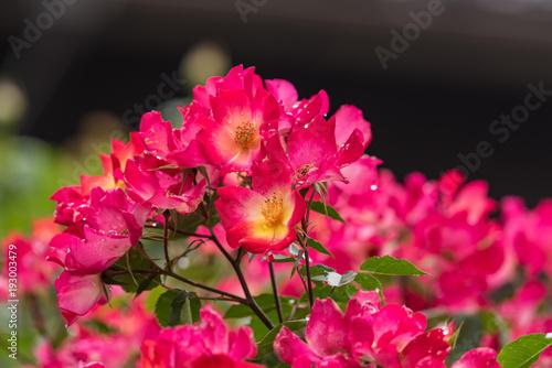 Foto Murales 雨に濡れた一重咲きの赤いバラの花