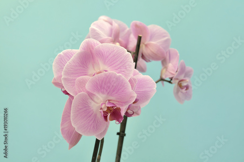 beautiful-pink-orchid-on-blue-background