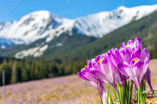 Crocus flowers. Tatra mountains. Mountain landscape