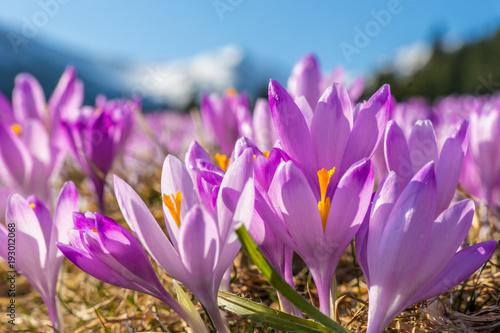 Beautiful colored crocus flowers