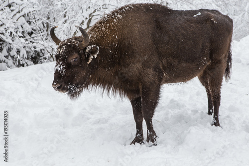 Fotobehang Bison European program for the restoration of the European bison population, Karpaty reserve, Ukraine
