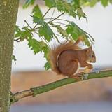 Seitenansicht eines europäischen Eichhörnchens in einem Baum - 193016006