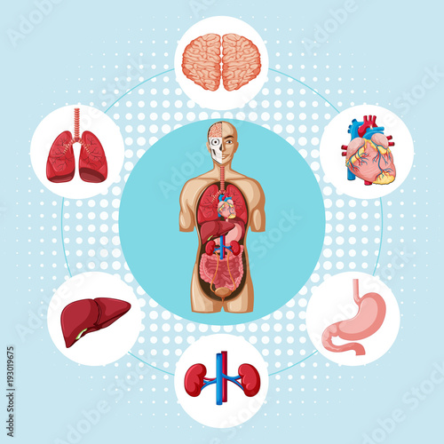 Deurstickers Kids Diagram showing different organs of human