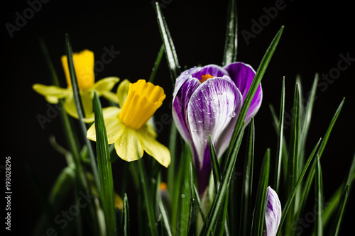 Daffodil flowers with crocus flower on a black background.