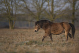 Poney Exmoor - 193037632