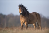Poney Exmoor - 193037696