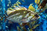 Quillback rockfish (Sebastes maliger), Inhabit rocky bottoms and reefs - 193038060