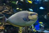 Bignose unicornfish (Naso vlamingii) sea and ocean fish - 193038810