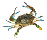 Blue Crab with white background.Top view - 193041047