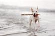 A terrier running with a stick in water