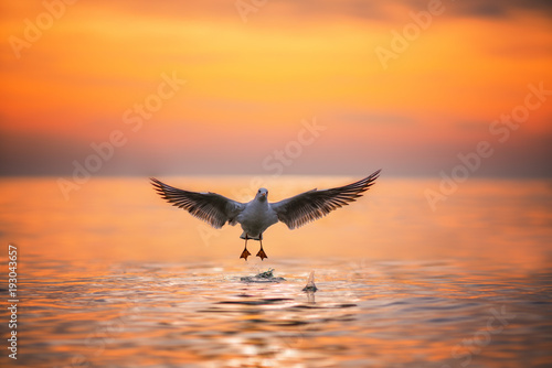 Foto op Canvas Natuur Seagull landing in the sea at sunrise