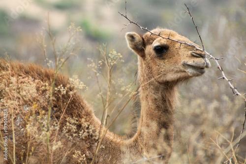 Aluminium Kameel głowa wielbłąda stojącego wśrod pożółkłych traw