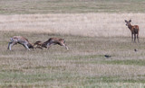 The deer of Richmond park, during the time of heat is a spectacle worth seeing with its great antlers .... - 193045625