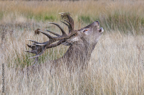 The deer of Richmond park, during the time of heat is a spectacle worth seeing with its great antlers ....