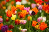 Field of colorful tulips: rich yellow fidelio tulips, beautiful red Ninja tulips and various purple pink tulips at Scagit Valley Tulip Festival in Washington. - 193049280
