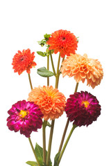 Flower of beautiful orange and pink bouquet dahlia macro nature isolated on white background. Botanical, concept, flora, idea. Pompom form