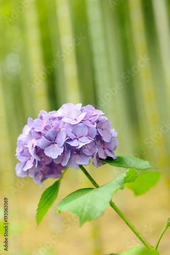 紫陽花./背景は竹林です.