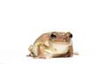 Female Cuban tree frog on white, side glance