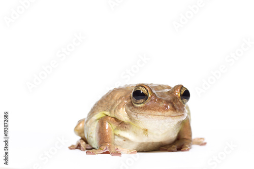 Aluminium Kikker Female Cuban tree frog on white, side glance