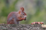 Art view on wild nature. Cute red squirrel with long pointed ears eats a nut in autumn scene with nice deciduous forest in the background. Wildlife in November forest. Squirrel in habitat.  - 193098429