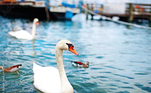 Aluminium Zwaan white swan with a red beak floating in a blue lake