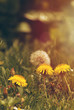 Dandelions in Misty Grassland with Golden Light