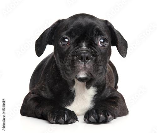 Staande foto Franse bulldog French Bulldog puppy
