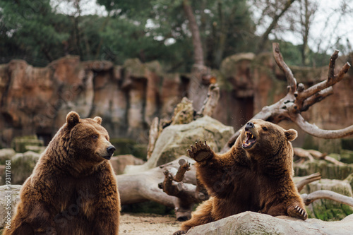 Papiers peints Madrid Two brown bears play in the zoo