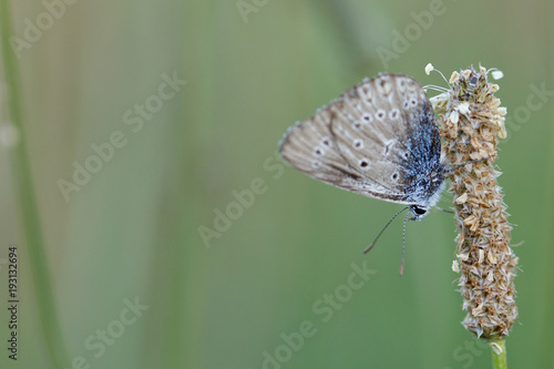 Aluminium Vlinder cream butterfly is sitting on the stem