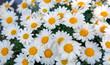 Macro of white daisies flowers.