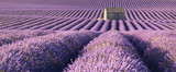 Panoramic view of lavender fields in Valensole with stone house in Summer. Alpes de Haute Provence, PACA Region, France - 193150604