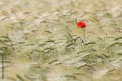 Beautiful red poppy in a green wheat field in the summer, Dobrogea,Romania