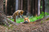 Red fox in the woods(Vulpes vulpes) - 193151661