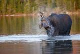 Moose Slashing - 193155451